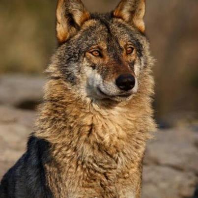 El hermoso Lobo Ibérico (Canis Lupus Signatus)