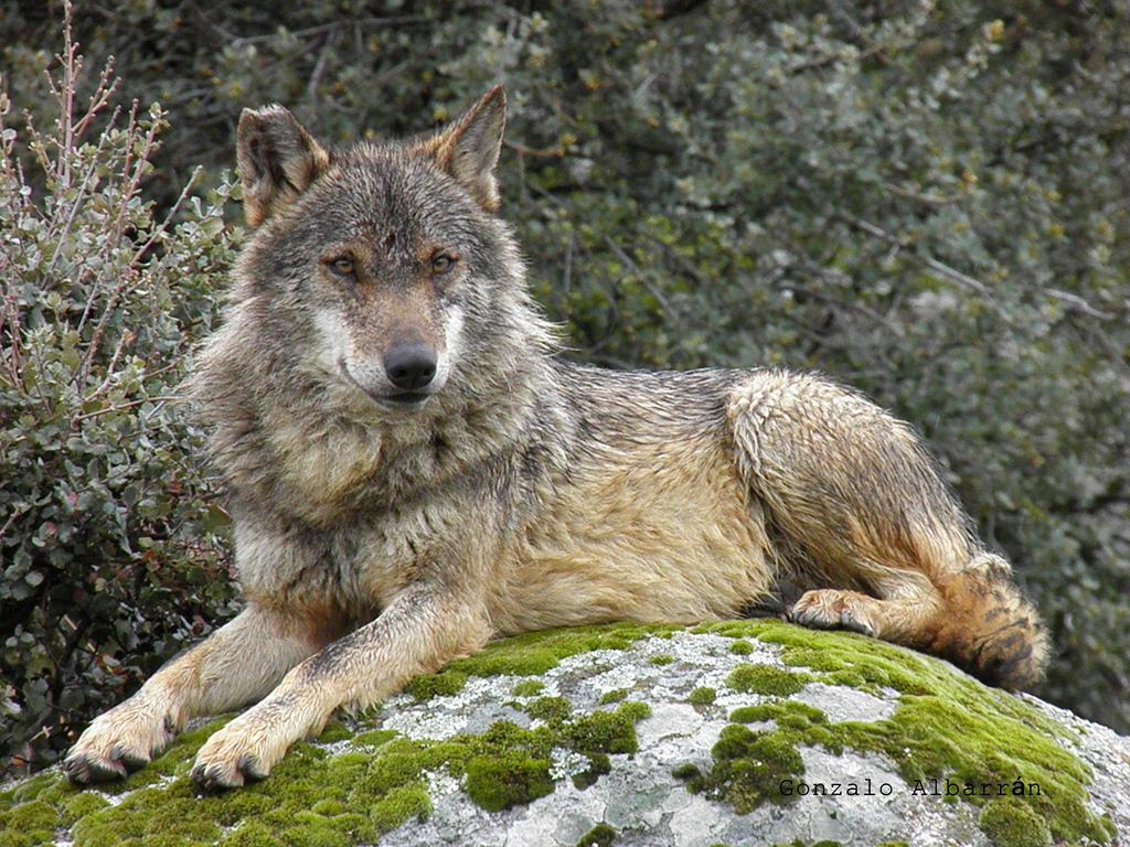 картинка лежащего волка гармоничное